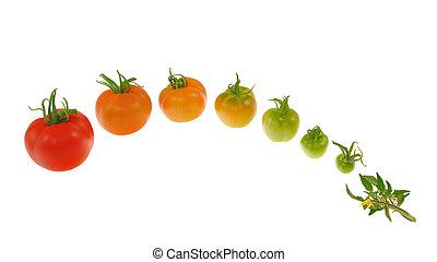 evolutie, van, rode tomaat, vrijstaand, op wit, achtergrond
