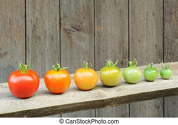 Evolution of red tomato - maturing process of the fruit stages of development