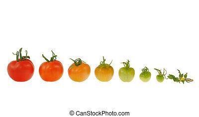 evolutionsphasen, von, rote tomate, freigestellt, weiß,...