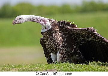 evolutivo, critically, pescoço, mostrando, calvo, vulture, longo, scavenging., ameaçada extinção, adaptação, espécie