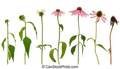 evoluzione, fiore, isolato, purpurea echinacea, fondo, bianco