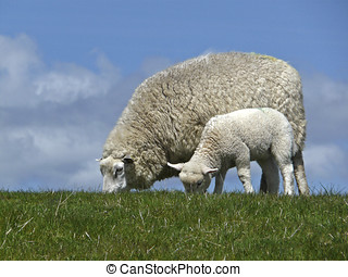 Ewe and lamb graze on a dyke - The Sheep (Ovis aries) is an...