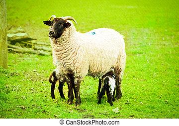 A female Norfolk Horn sheep feeding her lamb in a field