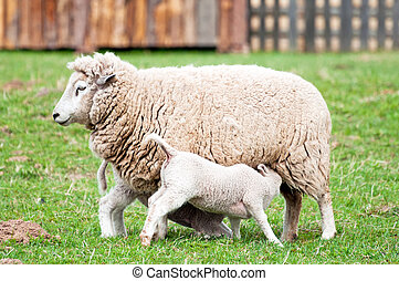 Picture of ewe and two toy-like lambs on the farm.
