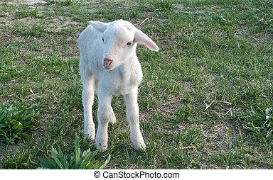 ewe baby in the field in freedom