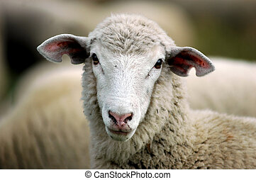 Ewe Lamb - close up face shot of wool lamb