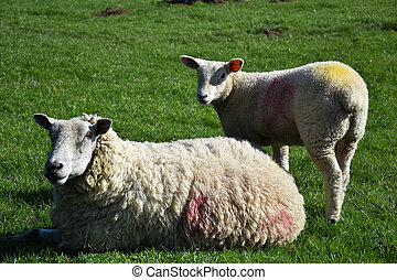 Ewe Resting with a Lamb in a Field