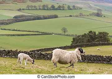 ewe with grazing lamb