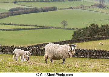 ewe with grazing lambs