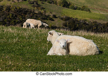 ewe with lamb resting on meadow