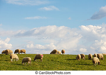 ewes eating in the field under the blue sky
