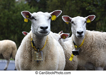 ewe with lamb on a road