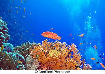 exótico, arrecife, cephalopholis, fondo, coral, tropical, mar, pez, rojo