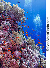 exótico, arrecife, colorido, fondo, coral, duro, tropical, corales, mar, peces, suave