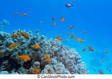 exótico, arrecife, colorido, fondo, coral, duro, tropical, ...