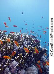 exótico, arrecife, fondo, coral, duro, tropical, corales, ...