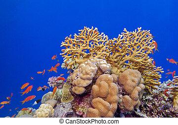 exótico, arrecife, fondo, coral, duro, tropical, corales, mar, peces
