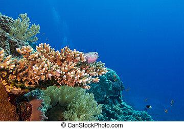 exótico, arrecife, fondo, coral, duro, tropical, mar, peces