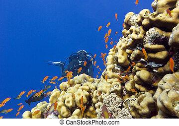 exótico, arrecife, fondo, coral, tropical, corales, porites...