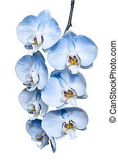 exótico, azul, romántico, tropical, rama, flores, orquídeas