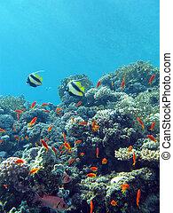 exótico, botto, arrecife, coral de fuego, duro, tropical, ...
