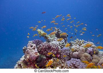 exótico, colorido, barrera coralina, peces, anthias
