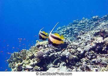 exótico, colorido, fondo, coral, tropical, arrecife, peces