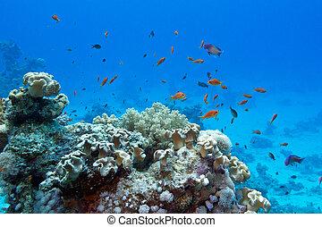 exótico, coral, duro, corales, arrecife, peces, anthias,...