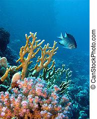 exótico, coral, pez, arrecife