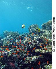 exótico, fondo azul, colorido, fondo, coral, agua tropical, arrecife, mar, peces