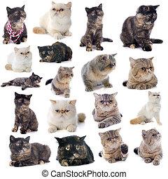 exótico, gatos, shorthair