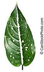 exótico, hojas, arriba, forma, costatum, cierre, aglaonema