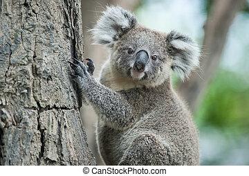 exótico, koala, ico, sentarse, árbol, australiano, sydney,...