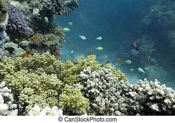 exótico, mar, fondo, barrera coralina, peces, rojo