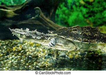 exótico,  matamata, de agua dulce, tortugas