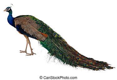 exótico, pavo real, pájaro