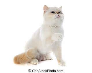 exótico, shorthair, gato