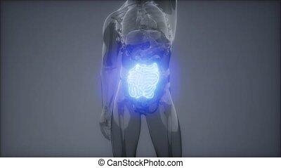 examen, radiologie, petit intestin, humain