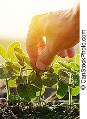 examinando, planta, folha, cima, mão, soja, agricultor, fim, macho