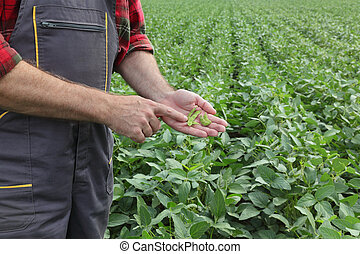 examinando, soja, colheita campo, agricultor