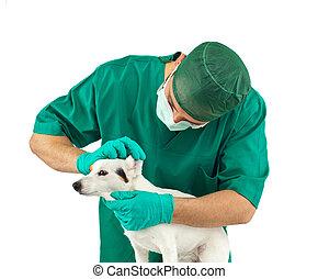 examinar, veterinario, russell, gato