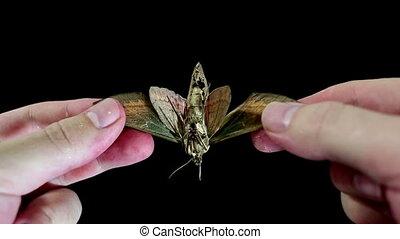 Examination of dead moth - Close up examination of dead moth...