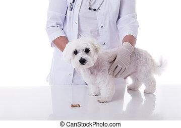 examiner, mignon, monde médical, chien, isolé, vétérinaire, maltais, table