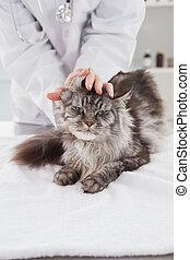 examiner, vétérinaire, chat, gris, mignon