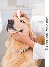 examiner, vétérinaire, chien, mignon