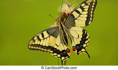 Excellent Papilio machaon, swallowtail butterfly - Excellent...
