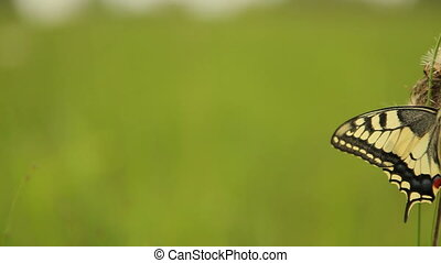 Excellent swallowtail butterfly Papilio machaon, moving...