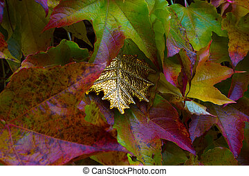Exceptional golden leaf between autumn leaves of a suckert,...