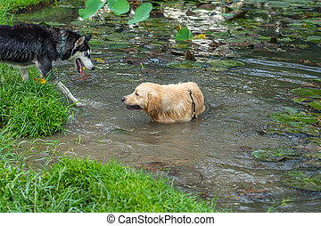 Excited Siberian husky and golden retriever dog playing mud in water pond