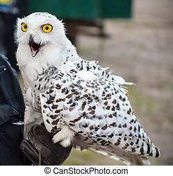 Excited snow owl on the hand of the falconer